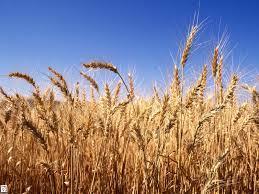 تولید 28000 تنی گندم در ساری