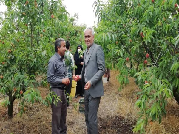 تولید 70 هزار تنی هلو و شلیل در میاندورود +تصاویر