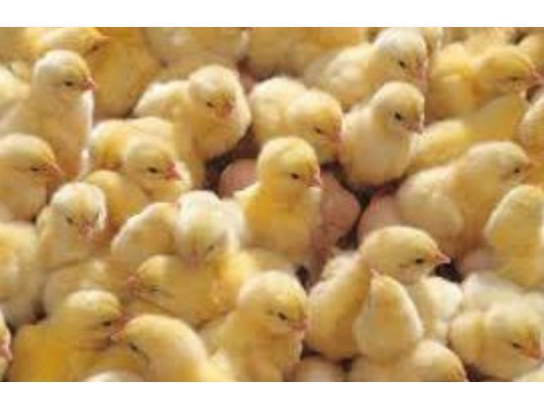 جوجه ریزی 2 میلیون قطعه ای در مرغداری های نکا