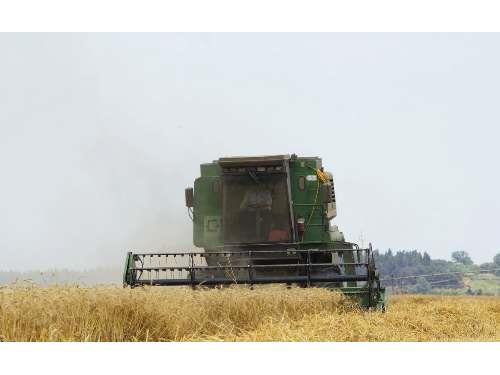 تولید 1150 تن گندم در قائم شهر